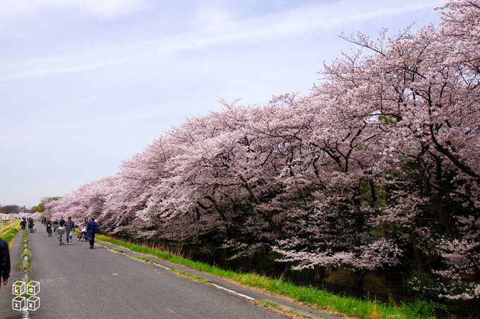 02.桜並木.jpg