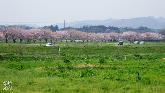 03.桜並木.jpg