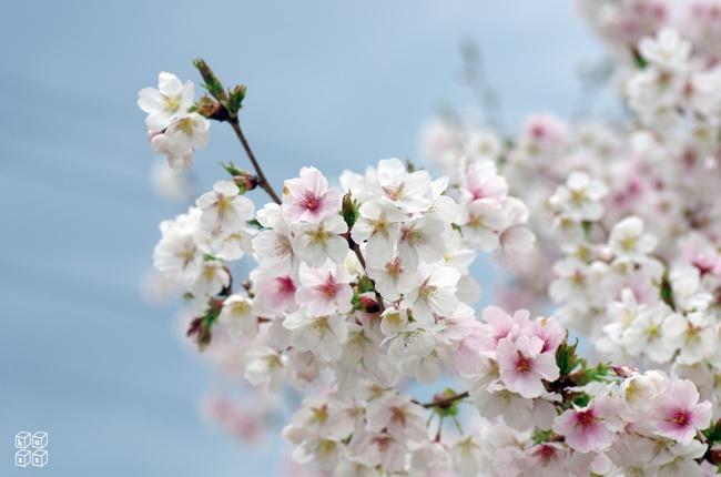 03.青空桜.jpg