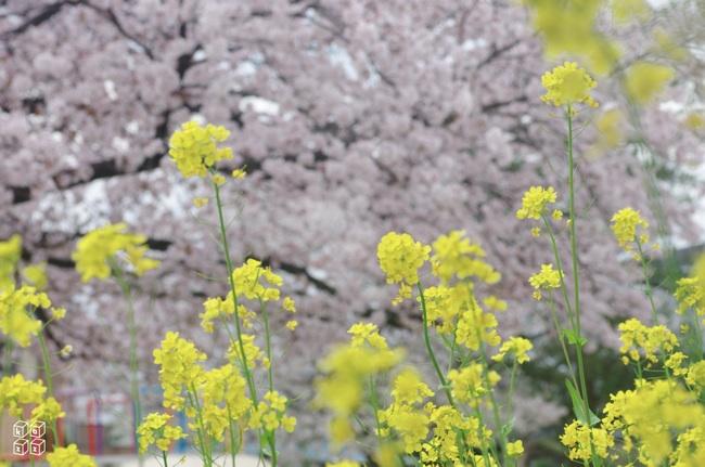 06.桜と菜の花.jpg
