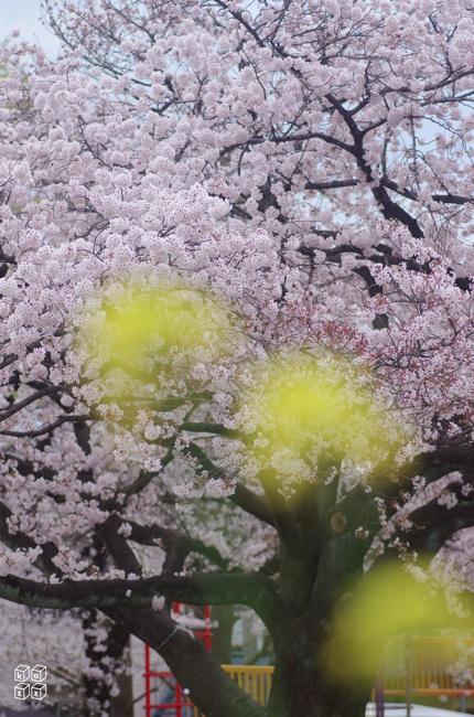 07.桜と菜の花2.jpg