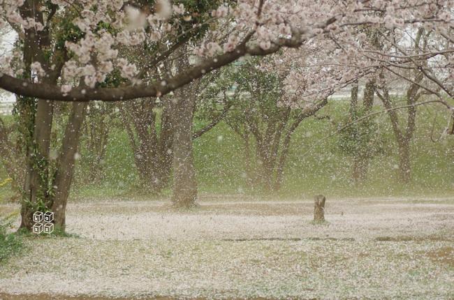 09.花吹雪1.jpg