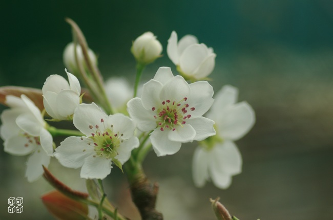 17.梨の花.jpg