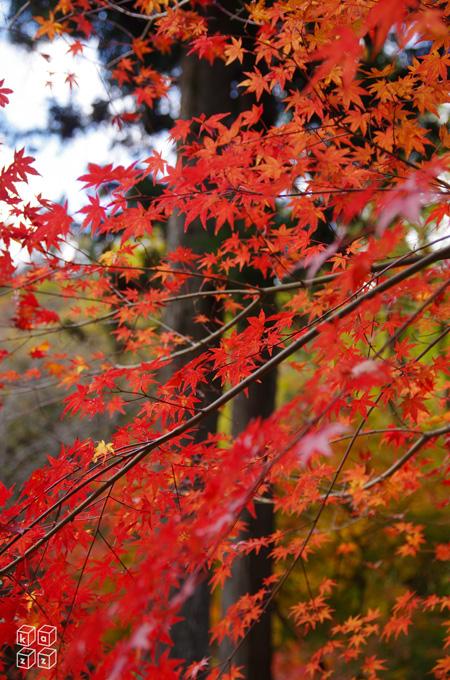 赤葉.jpg